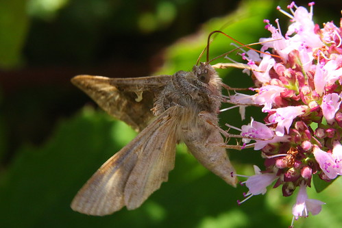 Silver Y Moth on Wild Marjoram at Harting Down, West Sussex